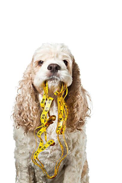 Dog holding tape measure picture id184265392?b=1&k=6&m=184265392&s=612x612&w=0&h=l 5caselufhezlzyy0 qcmtfgo3lrqd1hym1frslh38=