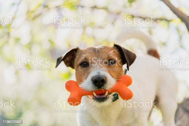Dog holding toy bone in mouth under branch of blossoming apple tree picture id1136222007?b=1&k=6&m=1136222007&s=612x612&h=audr9cf sih45fnsvdrnvzlw1b2d1nsj mdyy04wiag=
