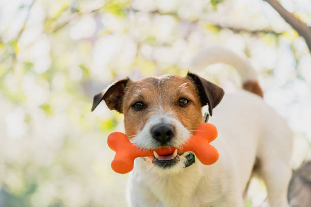 Hond Holding Toy bone in de mond onder tak van de bloeiende appelboom foto