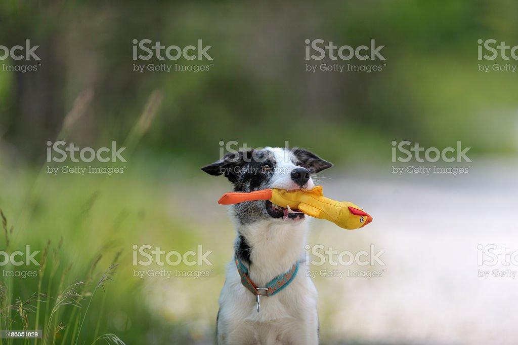 Perro sosteniendo amarillo pato de juguete - foto de stock