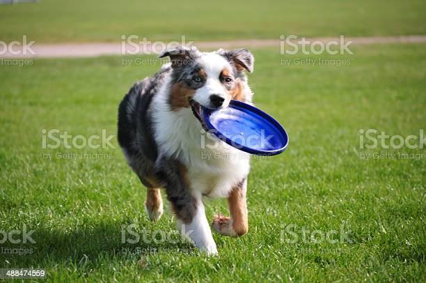 Dog holds a frisbee picture id488474559?b=1&k=6&m=488474559&s=612x612&h=7xgkbeapllxpatjshixpo2u qnkr7fkfzf0dwtu2mq4=