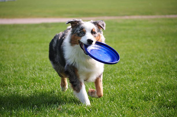 Dog holds a frisbee An Australian Sheperd runs smiling with a frisbee. plastic disc stock pictures, royalty-free photos & images