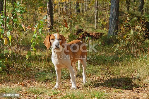 Dog hound resting on fallen leaves in the autumn forest