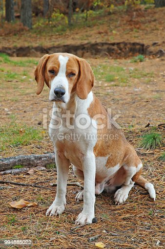 Dog hound on fallen leaves in the autumn forest