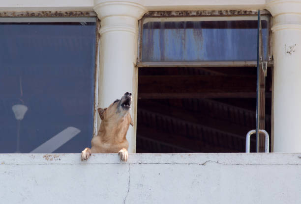 Dog howling on terrace stock photo
