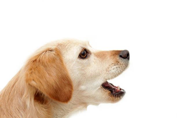 Dog howling on white background stock photo