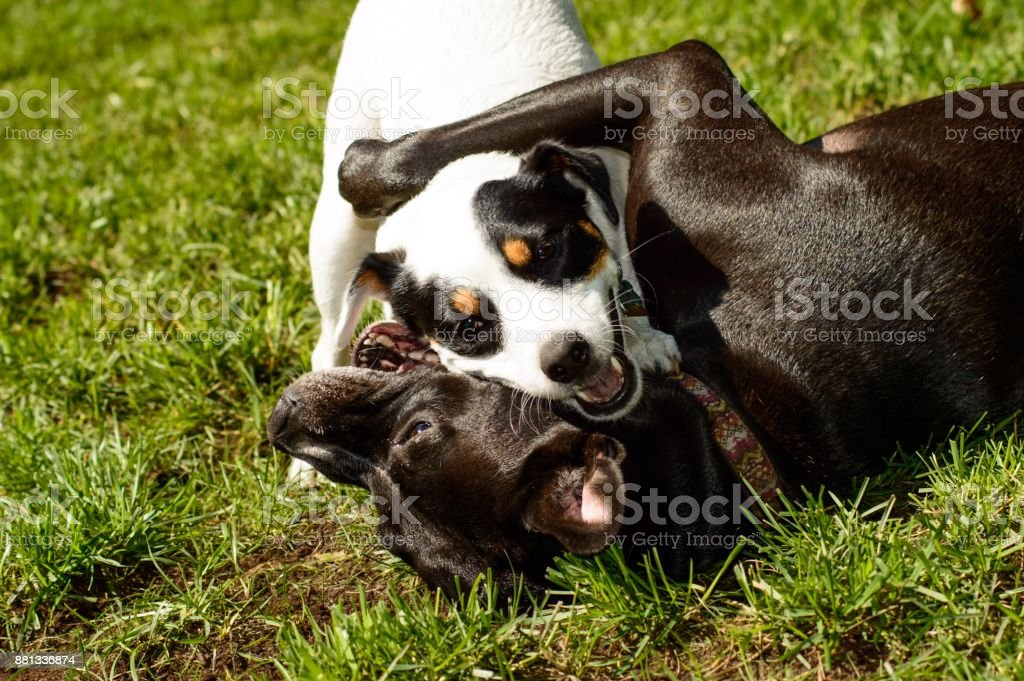 Dog hugs - Cute Dogs smiling playing together stock photo