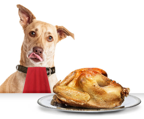 Dog Hungry for Thanksgiving Turkey Hungry dog in front of roasted Thanksgiving day turkey wearing red napkin with tongue out to lick lips thanksgiving pets stock pictures, royalty-free photos & images