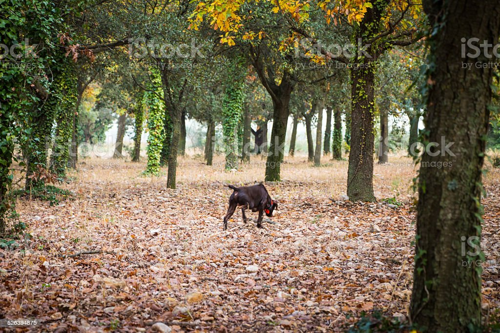 Dog hunting for truffles in Provence, France stock photo