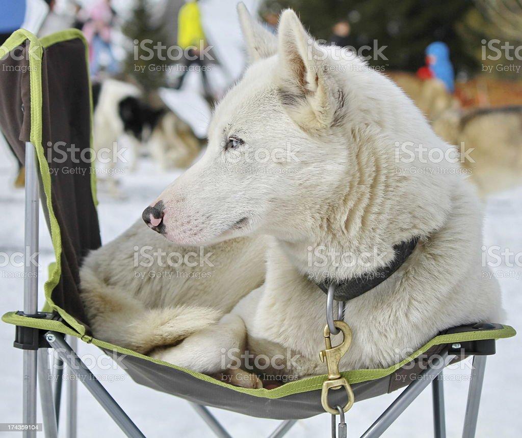 dog husky royalty-free stock photo