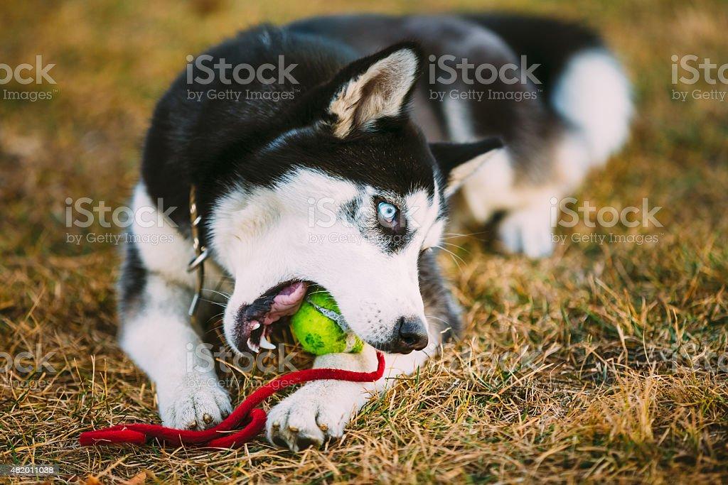 Image result for husky  ball