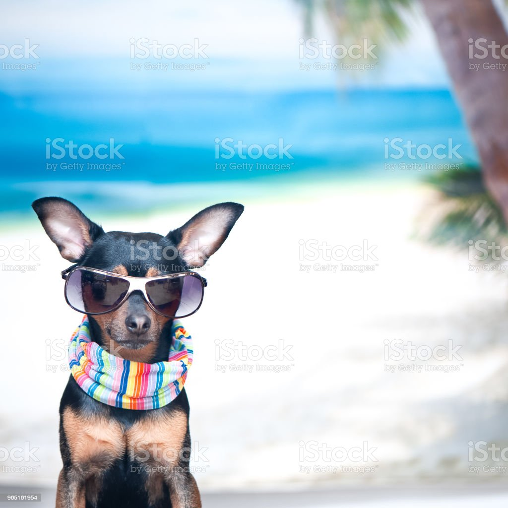Dog in a bandana and glasses on the beach, the concept of recreation, I want to go on vacation. Stylish Toy Terrier at sea. Space for text zbiór zdjęć royalty-free