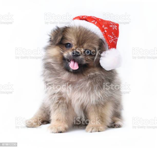 Dog in a christmas costume isolated on white background picture id878812230?b=1&k=6&m=878812230&s=612x612&h=i kqdvvggcn1h0dn27ynwbhz1ncfgrgrq6zjuk lns0=