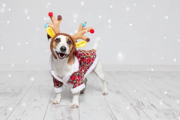 hund in einem weihnachtskostüm - nikolaus kostüm stock-fotos und bilder