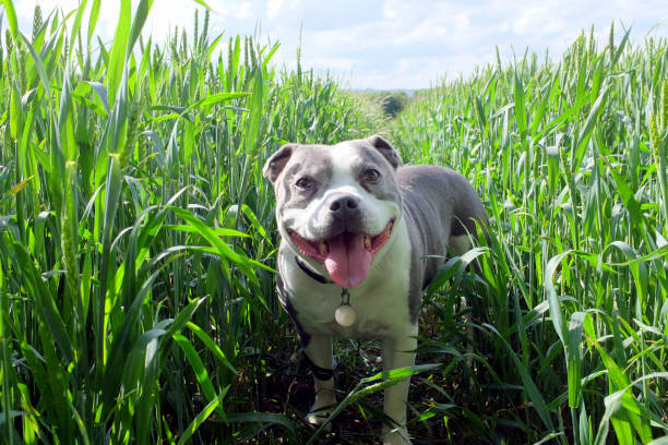 Dog in a Cornfield. stock photo