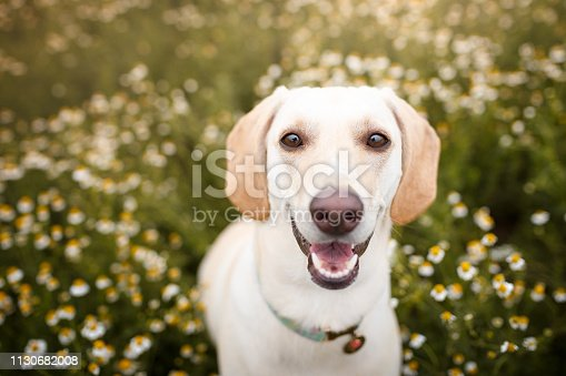 istock Dog in a field os flowers 1130682008