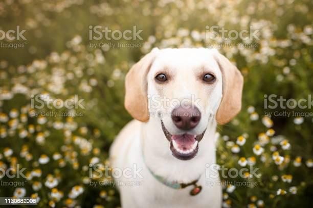 Dog in a field os flowers picture id1130682008?b=1&k=6&m=1130682008&s=612x612&h=evozchr 40vl crskejyqart8c j9ltfxrjrvm6jwt4=