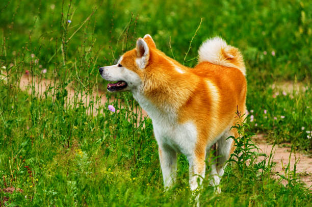 Dog in a field with tall grass akita inu japan picture id903841246?b=1&k=6&m=903841246&s=612x612&w=0&h=vgzgcaxgyp tj00rni5lhjftex4apcjktem4svoekxq=