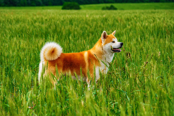 Dog in a field with tall grass akita inu japan picture id903849828?b=1&k=6&m=903849828&s=612x612&w=0&h=eqggolixzejn43n 8iuqmvxc2s8ksijiijf9mjeij1s=