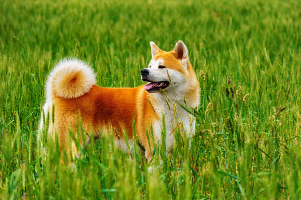 Dog in a field with tall grass. Akita Inu japan stock photo