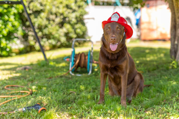 Dog in a Fire Helmet stock photo