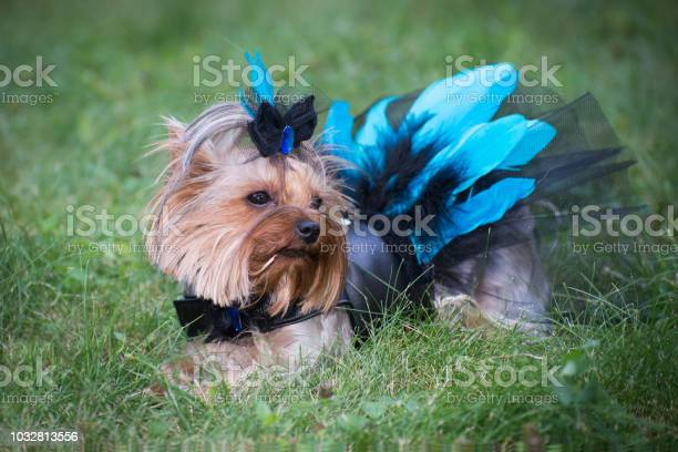 Dog in a leather dress with lace and feathers on a walk picture id1032813556?b=1&k=6&m=1032813556&s=612x612&h=clolq7jugls nuworh  a89e2yh4atzuxaptoiv4zfi=
