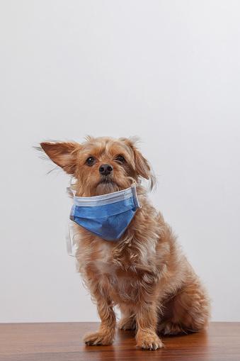 Dog in a medical mask.
