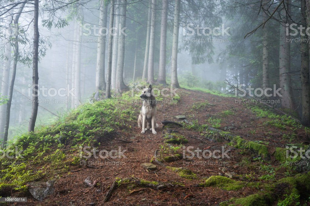 Dog in a mystical foggy forest. Dog walking outdoors in a summer...
