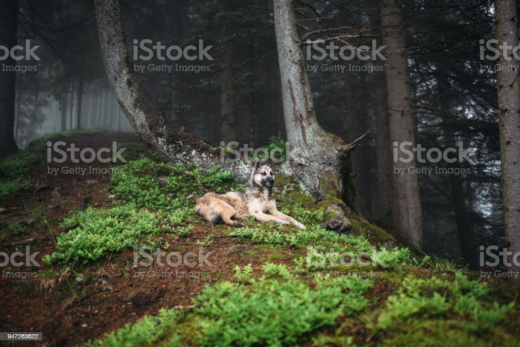 Dog in a mystical forest. Dog walking outdoors in a forest. Fog in...