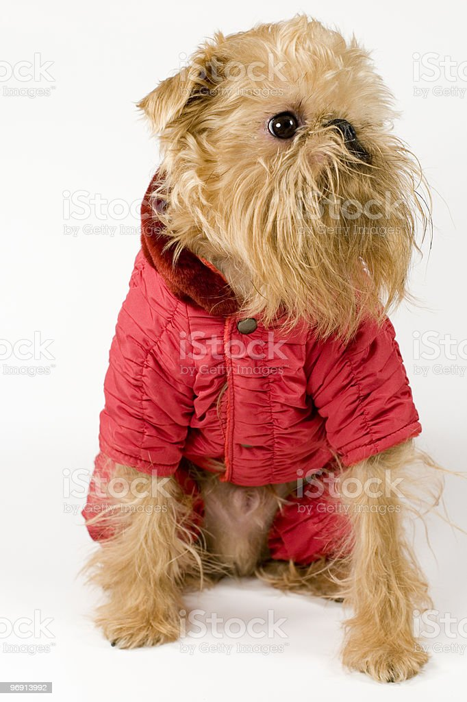 Dog in a red jacket. royalty-free stock photo