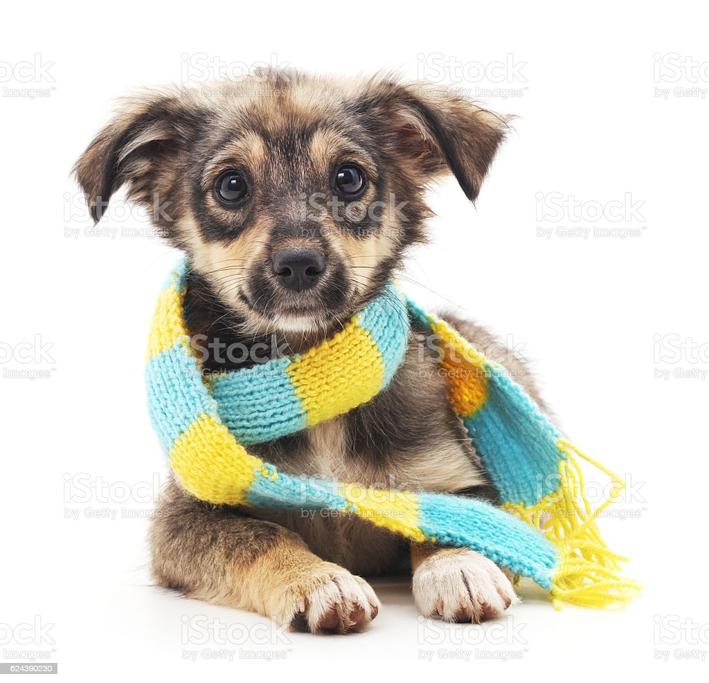 Dog in a scarf. stock photo