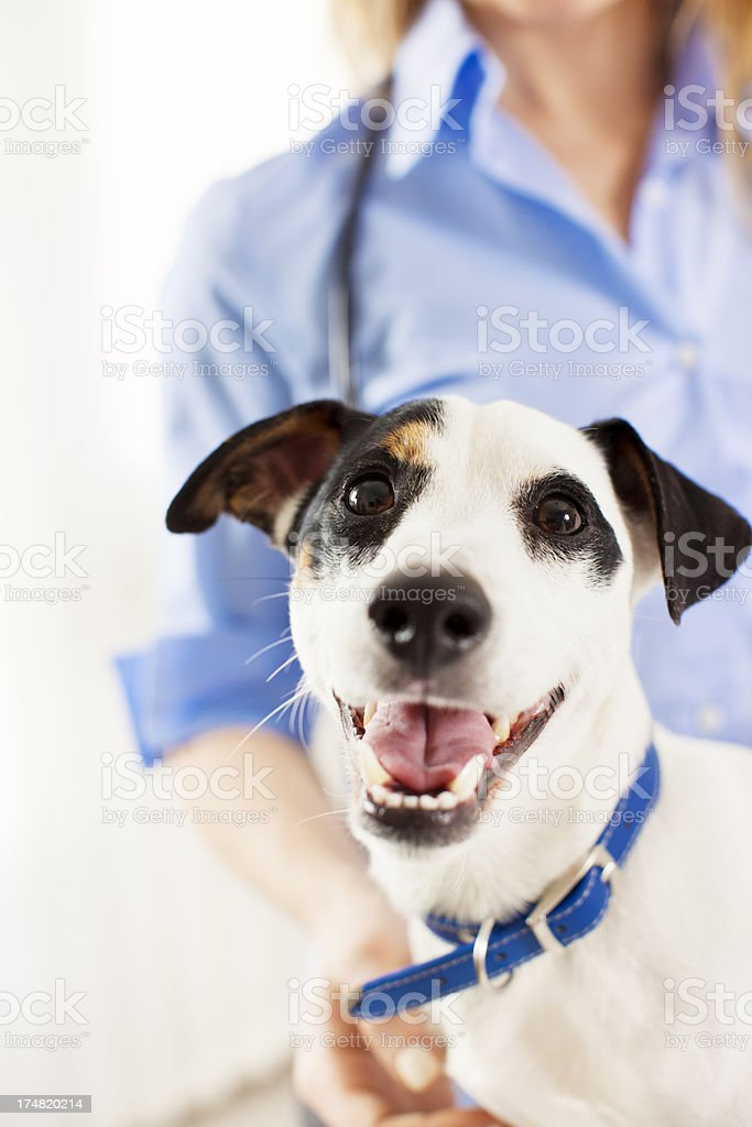 Dog in a veterinary office. stock photo