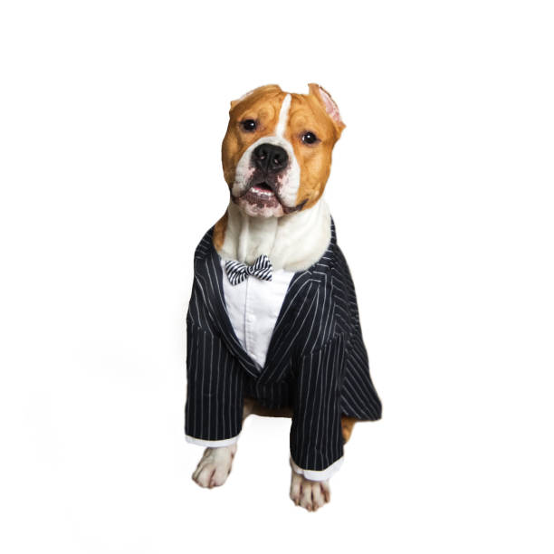Dog In A Wedding Suit stock photo | iStock