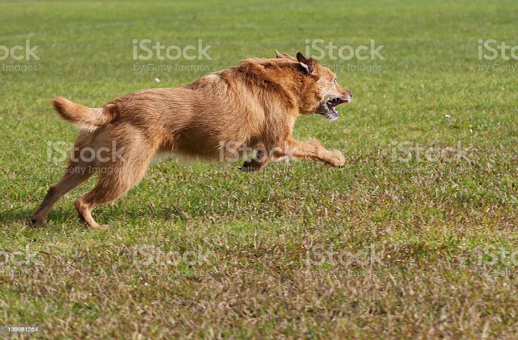 Dog in action royalty-free stock photo