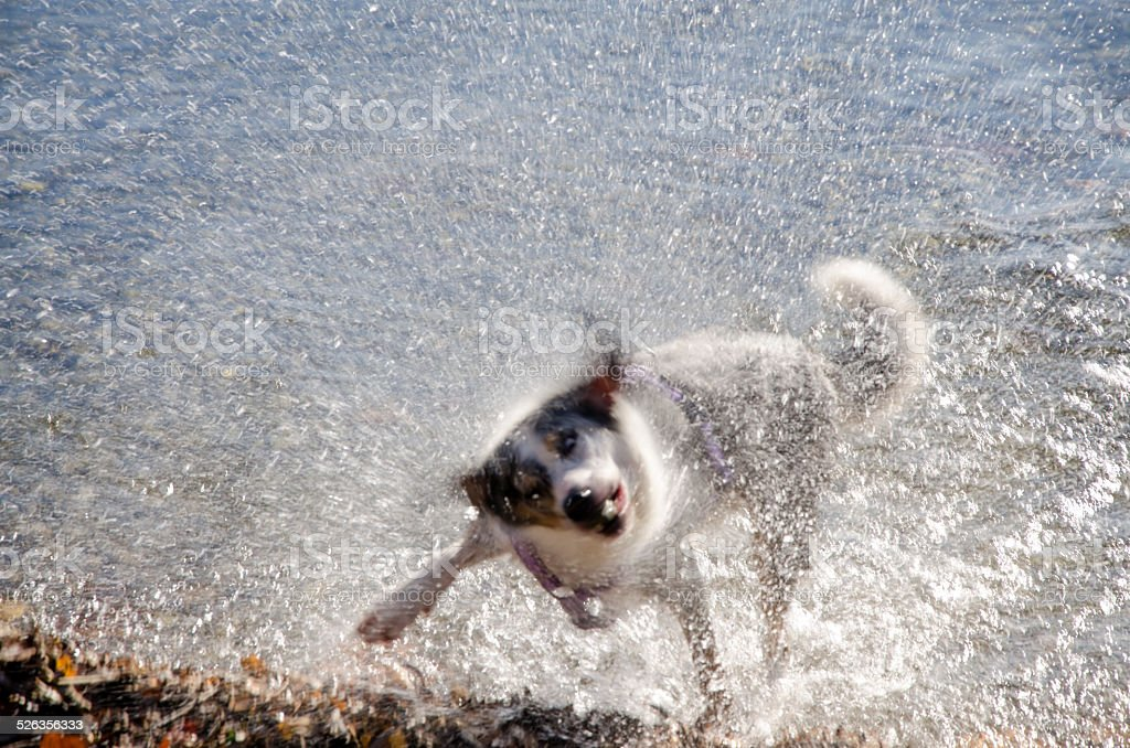 dog in action to shake water off after a bath-play stock photo