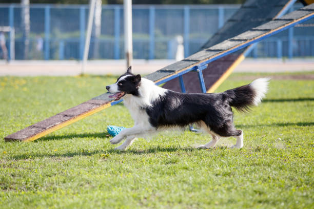 Dog in agility competition Dog in agility competition. Border collie runs towards next obstacle sergionicr stock pictures, royalty-free photos & images