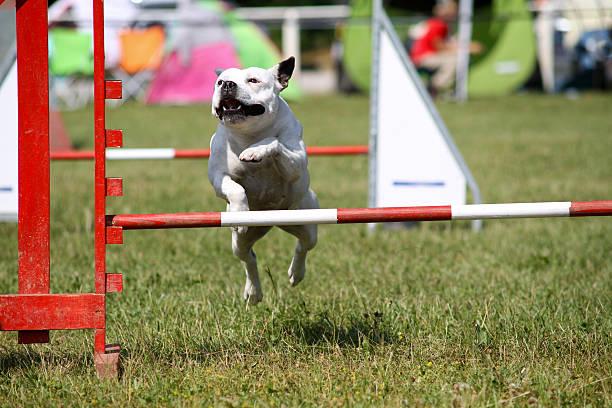Dog in agility race picture id148981071?b=1&k=6&m=148981071&s=612x612&w=0&h=7wgdnw76niajmmd1a6j4hj up0dbjiidh3wfj93om0y=