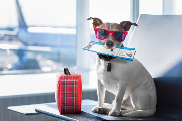 Dog in airport terminal on vacation picture id667787320?b=1&k=6&m=667787320&s=612x612&w=0&h=n3plypjhqg5mi6sr9cxwffikvt7cejj8ccjjxwpnw1w=