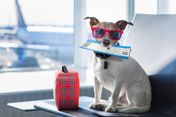 dog in airport terminal on vacation - travel destinations stock photos and pictures