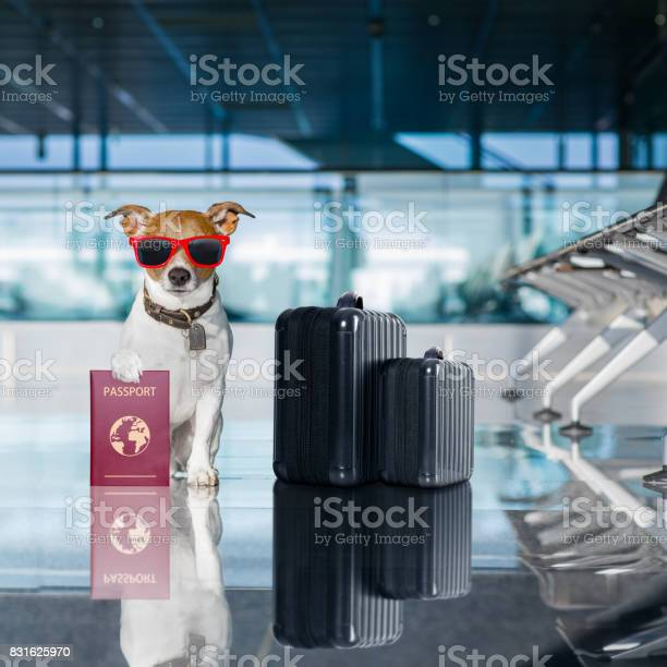 Dog in airport terminal on vacation picture id831625970?b=1&k=6&m=831625970&s=612x612&h=p joy6flmuzo99d4kzuia5zxtuajlmsd2m3xyrqcu90=