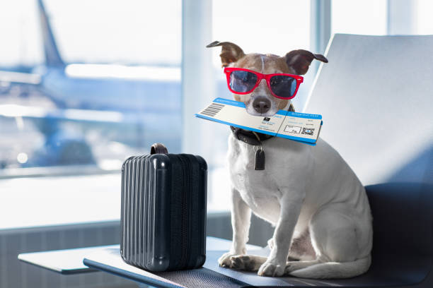 Dog in airport terminal on vacation picture id831626032?b=1&k=6&m=831626032&s=612x612&w=0&h=9r49kygghj5wf7frzenow5xxzufivuu4nm qri5ouma=