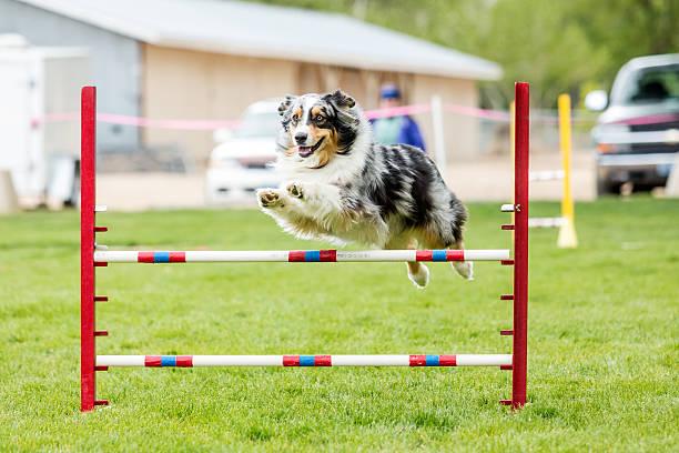 Dog in an agility competition picture id637081486?b=1&k=6&m=637081486&s=612x612&w=0&h=ee380d7yg vuaf5aqtxwrtalifzhsd2k9bzlhlm33b4=