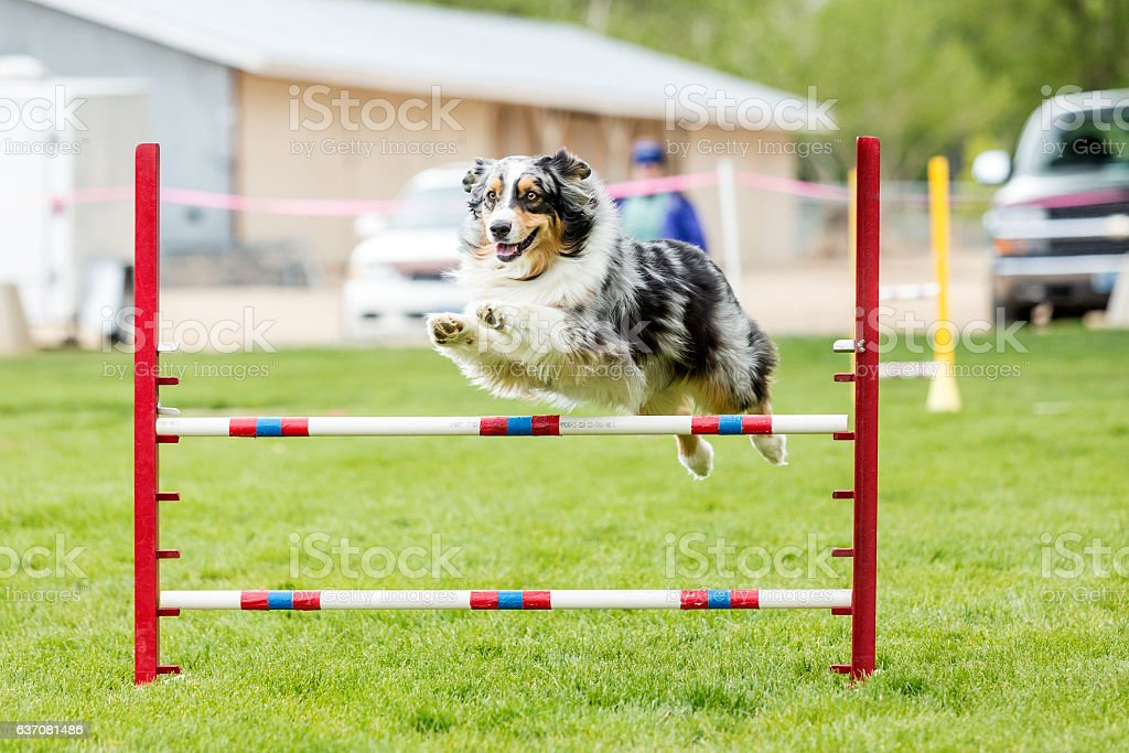 Dog in an agility competition – Foto