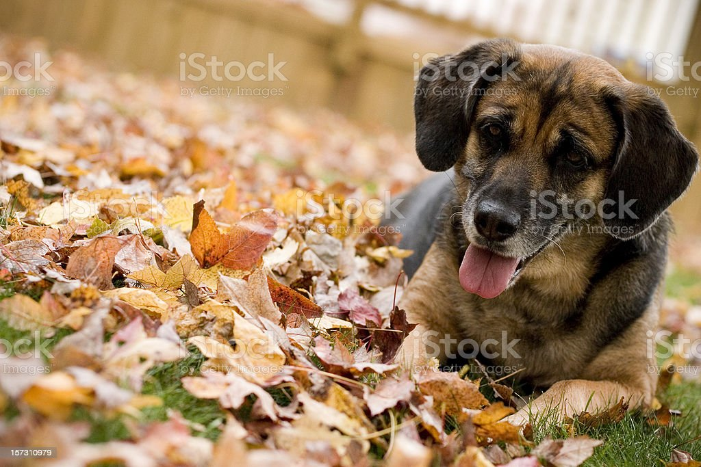 Dog in Autumn Leaves royalty-free stock photo