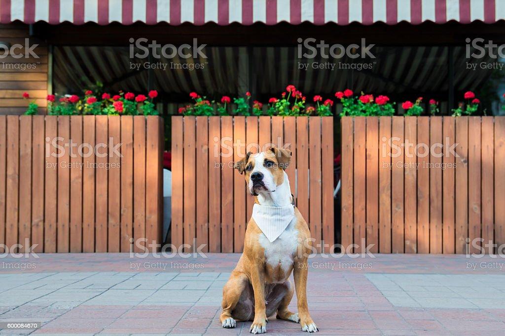 Dog in bandana sitting outdoors stock photo