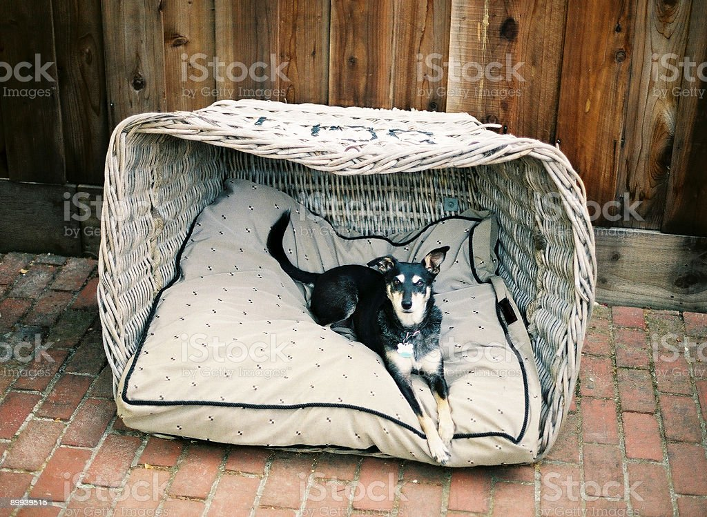 Dog in basket royalty-free stock photo