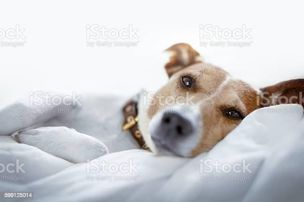 Dog in bed picture id599125014?b=1&k=6&m=599125014&s=612x612&h=18oxqavhvkoqwkwtvrmxelvwtg6ov2lyv3jxpm msx8=