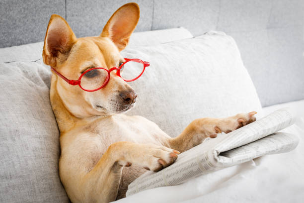 dog in bed reading newspaper stock photo