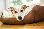 istock dog in bed resting and relaxing daydream 1135490362