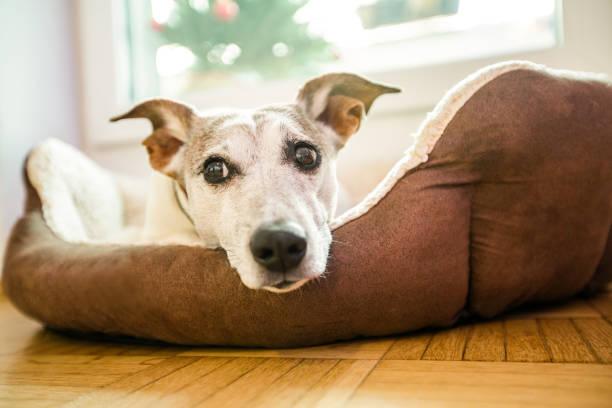 Hund im Bett ruht und erholsame Tagträume – Foto